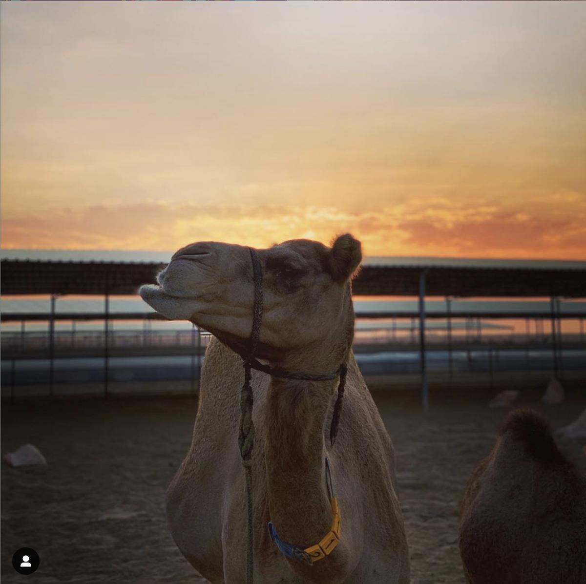 Visiting Camel Farm and feeding camels