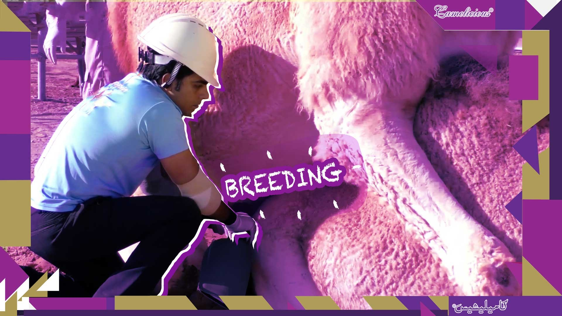 Breeding System in Camelicious