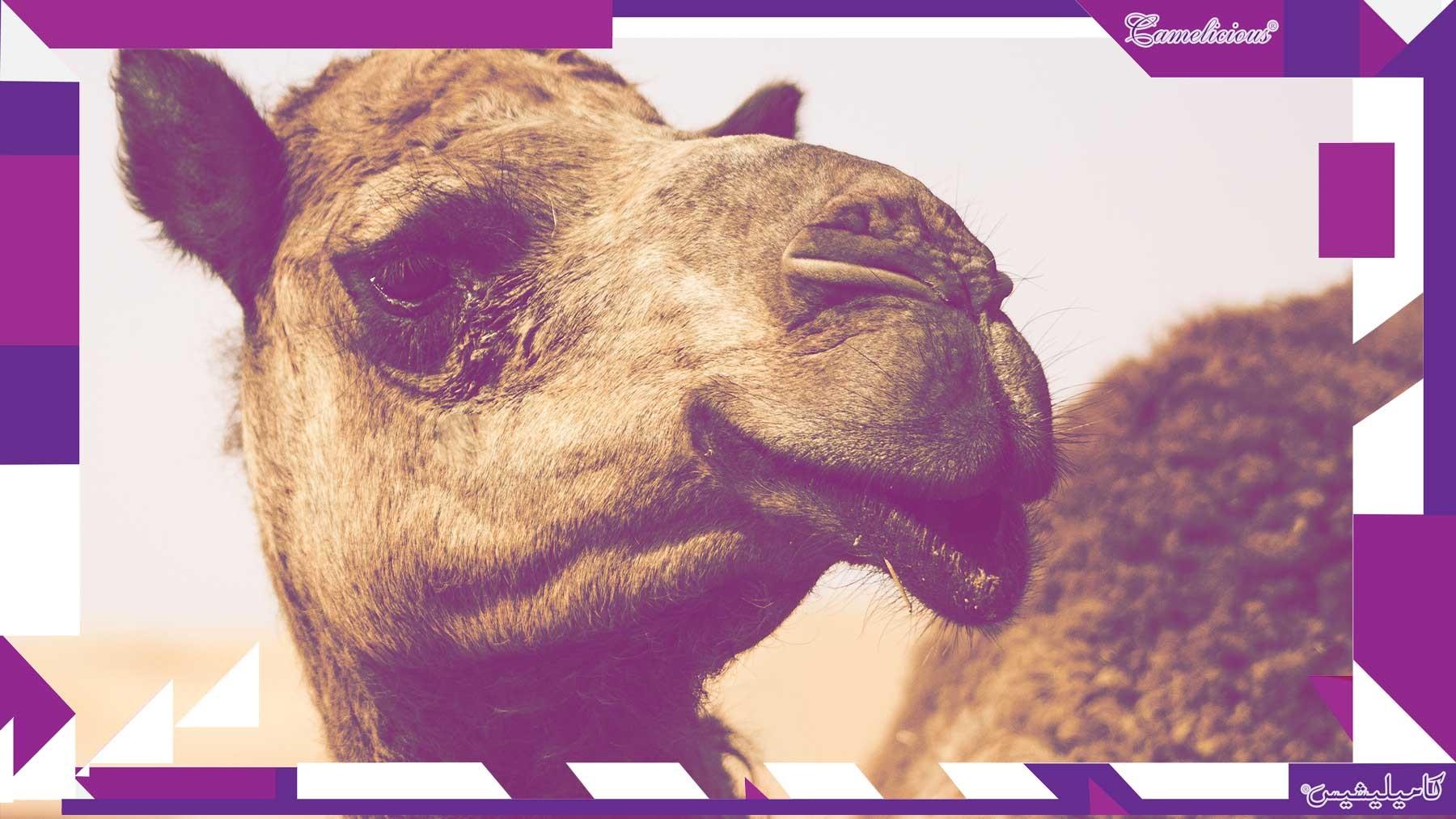 Cosmetics from camel milk