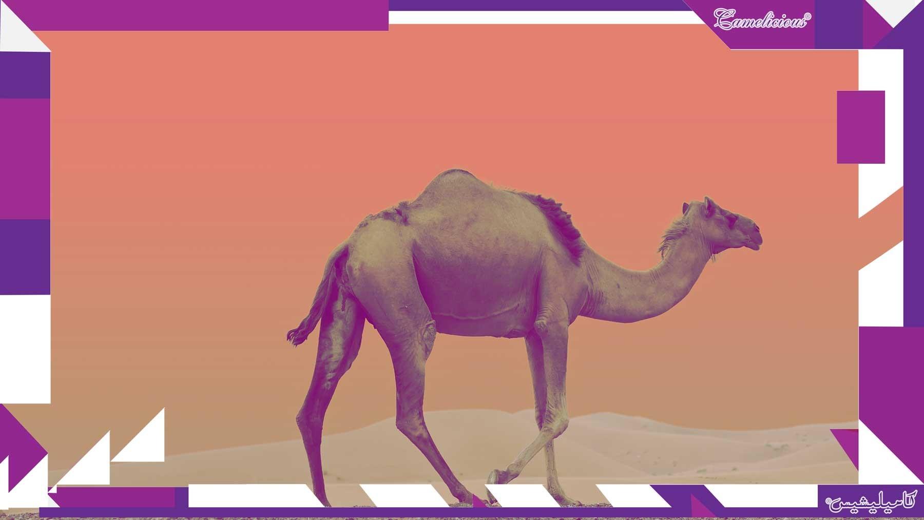 UAE'S camel milk hit shelves in Europe