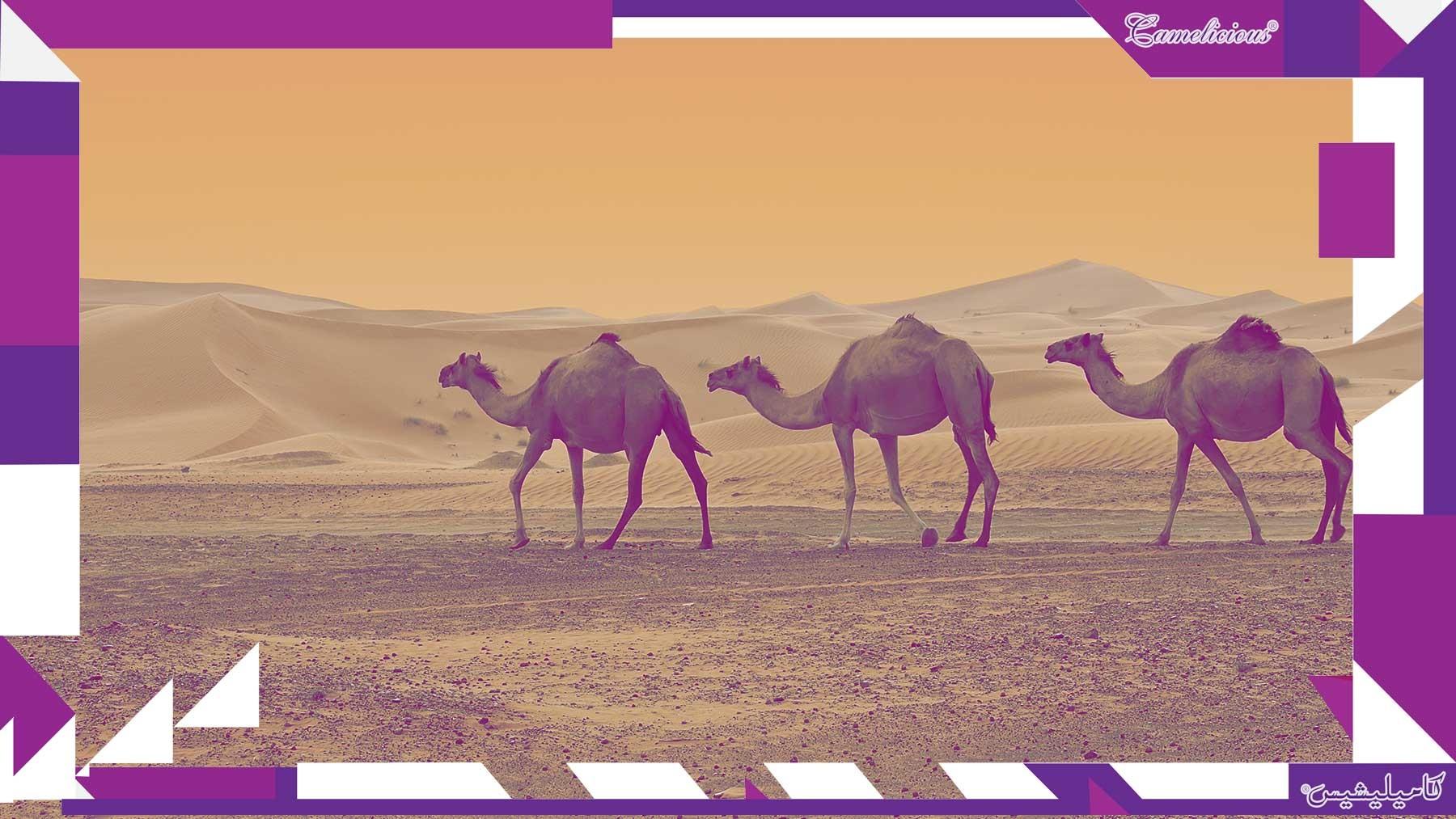 Dubai's camel milk products reach Europe