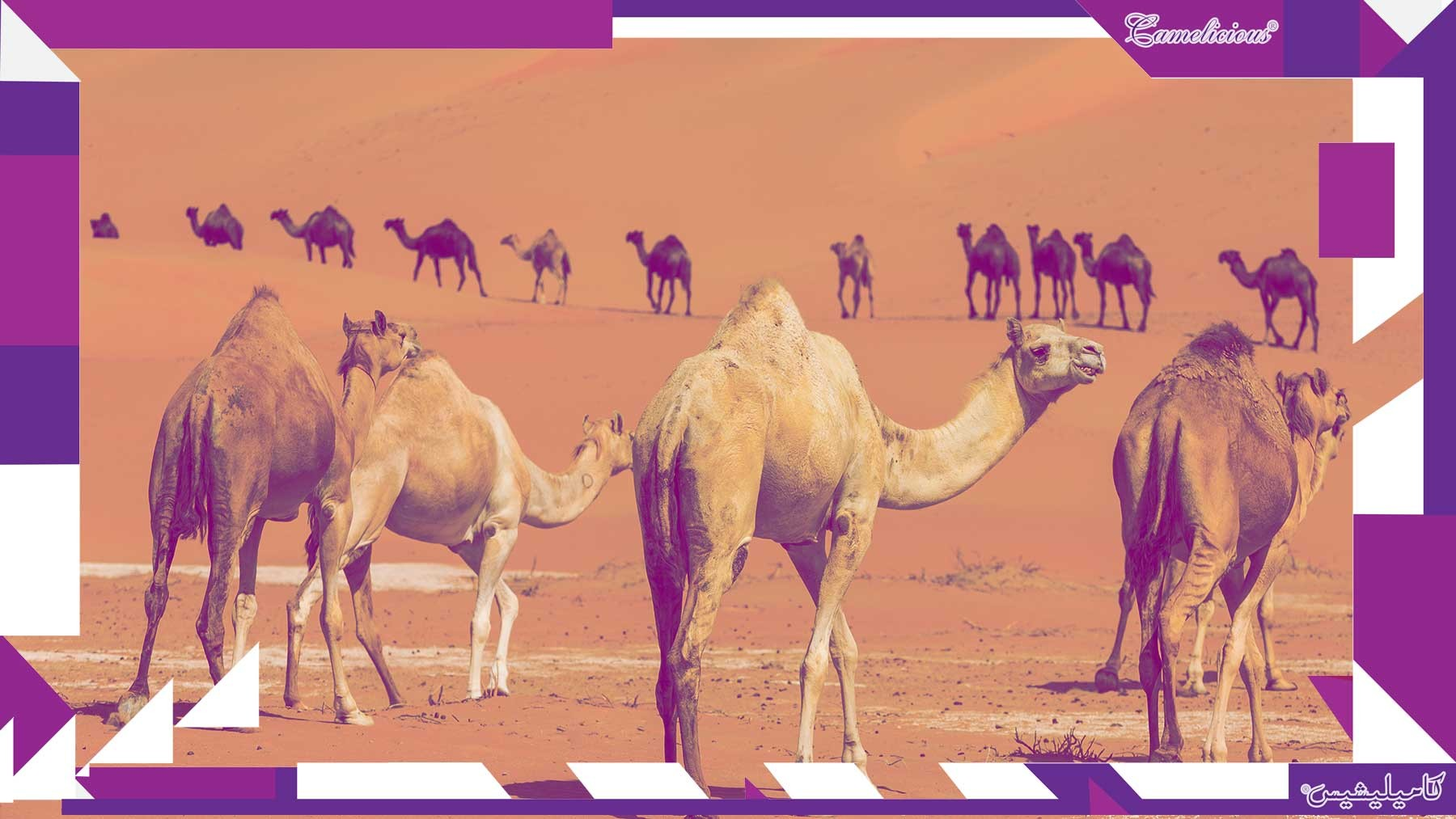 UAE firm exports first camel milk products to EU